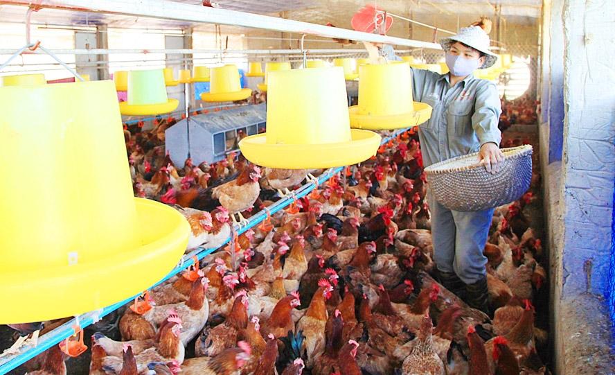 Hà Nội: Ngành chăn nuôi bảo đảm nguồn cung những tháng cuối năm